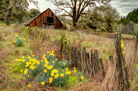 Old Barn and Daffodils